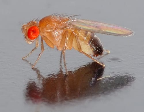 Can You Design a Better Fruit Fly?
